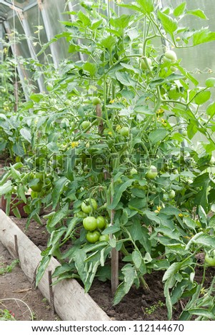 Tomato plants with immature young green tomatoes growing in a home veggie plot