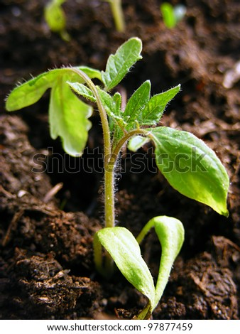 Tomato seedling in ground