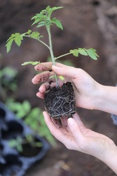 Tomato seedlings in the spring garden.Spring seedlings. Gardening and horticulture. Seedling in the hands. Planting tomatoes in the ground. Garden work.