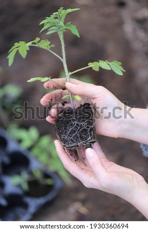 Tomato seedlings in the spring garden.Spring seedlings. Gardening and horticulture. Seedling in the hands. Planting tomatoes in the ground. Garden work. Foto stock ©