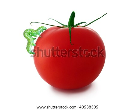 Tomato with caterpillar