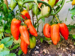 Tomatoes after the rain - The tomato 'Andine Cornue . Cornue des Andes or Horn of the Andes - Rouge des Andes or Red banana and Red Bull Horn Tomato.
