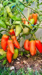 Tomatoes after the rain - The tomato andine Cornue . Cornue des Andes or Horn of the Andes - Rouge des Andes and Red Bull Horn Tomato.