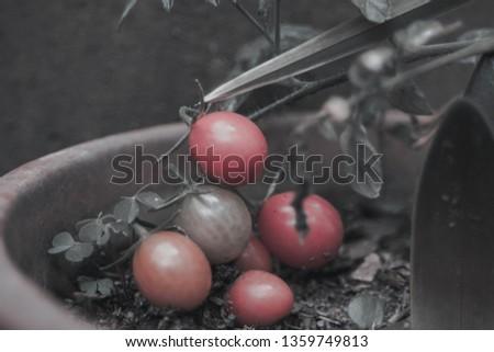 Tomatoes cherry organic #1359749813