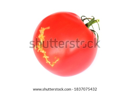 Tomatoes damaged by caterpillars of tomato leafminer also called tomato pinworm or South American tomato moth - Tuta absoluta (latin name). It is a serious pest of tomatoes around the world.