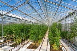 tomatoes growing in a green house, heated by geothermal energy
