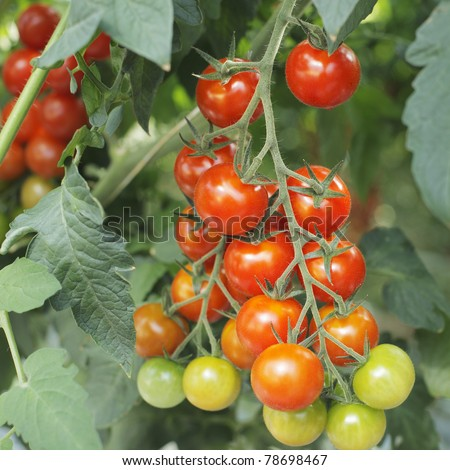 Tomatoes growing in a greenhouse.