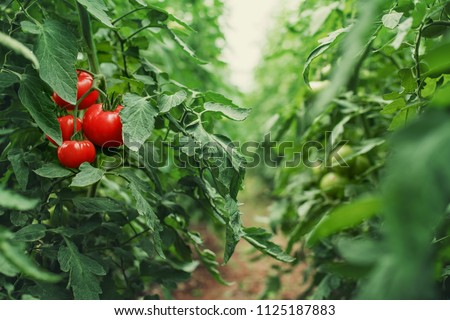 Tomatoes in a Greenhouse. Horticulture. Vegetables. farming Сток-фото ©