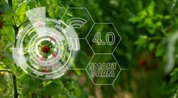 Tomatoes in greenhouse with infographics. Smart farming and precision agriculture 4.0