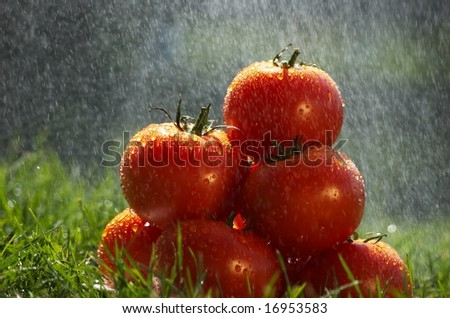 Tomatoes in the rain