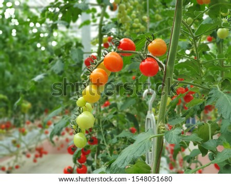 Tomatoes of different colors by the process of ripening in indoor farm/vertical farm. Vertical farming is sustainable agriculture for future food.