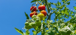 Tomatoes on shrub on blue sky