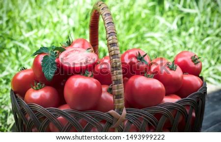 Tomatoes on the grass. Tomatoes grass vegetation harvest vegetables rural life summer basket vegetable-growing vegetable garden