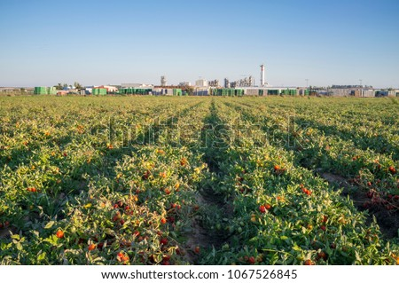 Tomatoes plantation furrows with tomato factory at bottom, Vegas Bajas del Guadiana, Spain