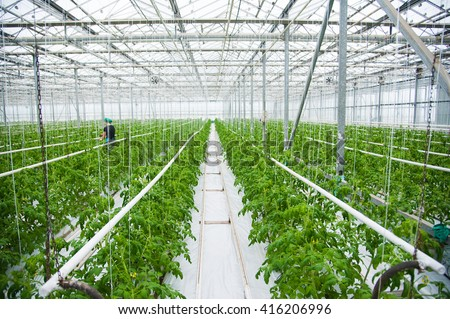 Tomatoes ripening on hanging stalk in greenhouse