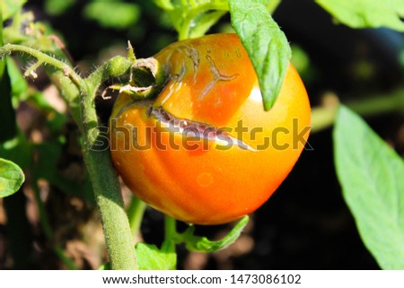 Tomatoes tend to split when there have been extreme fluctuations in watering such as torrential rains after a long dry spell.  Regular watering can prevent splitting.