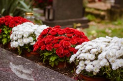 tombstones decorated with colorful seasonal chrysanthemum flowers in cemetery during religious christian traditional autumnal event