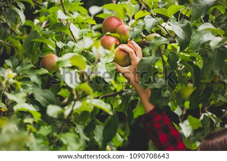 Toned closeup image of hand reaching for apple growing on top of tree in orchard