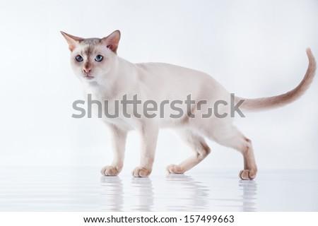 Tonkinese cat Stock photo ©