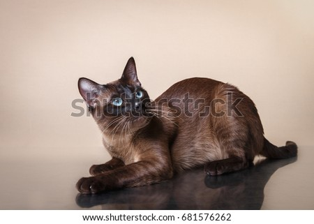 Tonkinese cat on a beige background Stock photo ©