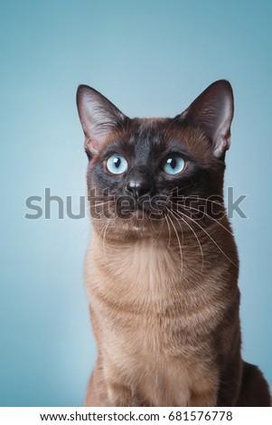 Tonkinese cat on a blue background Stock photo ©