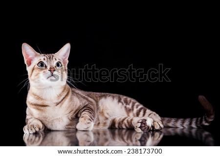 Tonkinese cat, portrait beautiful cat on a black background Stock photo ©