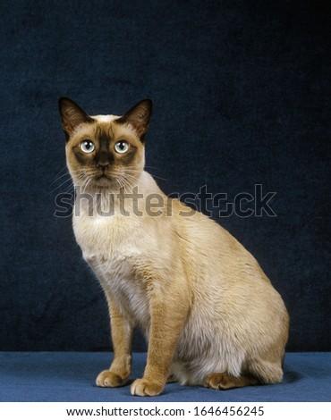 Tonkinese Domestic Cat, Adult sitting against Blue Background    Stock photo ©