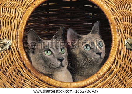 Tonkinese Domestic Cat standing in Basket   Stock photo ©