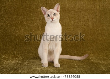 Tonkinese on green background Stock photo ©