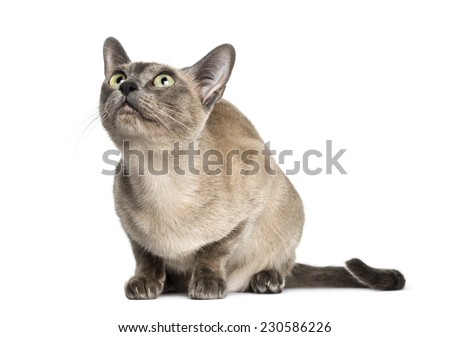 Tonkinese sitting, looking up, isolated on white (18 months old) Stock photo ©