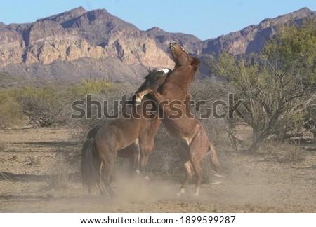 Tonto Nat'l Forest Wild Horses Photo stock ©