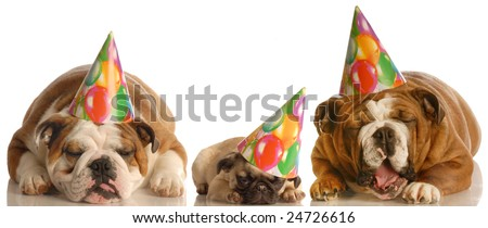 too much party - two english bulldogs and a pug wearing birthday hats