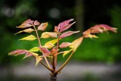 Toona sinensis 'Flamingo' tree - Chinese mahogany or Chinese cedar, family: Meliaceae, macro shot