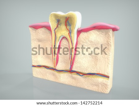 Tooth section