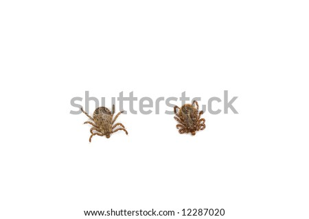 Top and Bottom View of Male Pacific Coast Tick, Dermacentor occidentalis