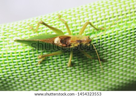 Top back close up picture of a locust sitting on a green synthetic back of a garden chair