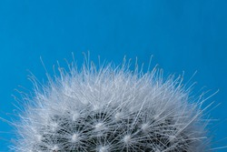 Top detail of Mammillaria bocasana cactus, also known as Powder Puff Pincushion. Close-up of fluffy white silky hairs isolated on a pastel blue background.