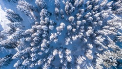 Top down aerial drone view of the snow covered wood after a snowfall. Drone view of the forest in winter. Trees in the snow. Frosty forest. Nature landscape. Italian Alps