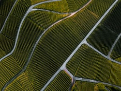 Top down aerial view of a green summer vineyard at sunset in Rammersweier,Offenburg,Germany