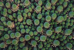 Top-down view of a clump of mammillaria cactus forming interesting fractal patterns. Abstract detailed natural cacti background.