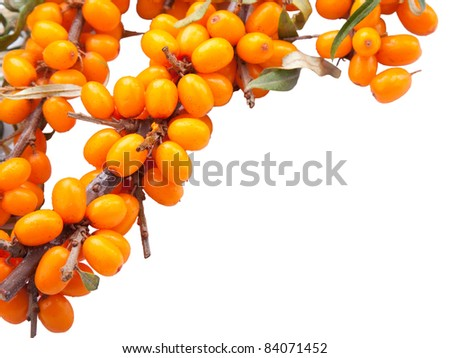 top frame from branch of fresh orange sea-buckthorn berries on isolated white background