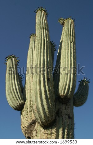 Top Heavy Saguaro Cactus