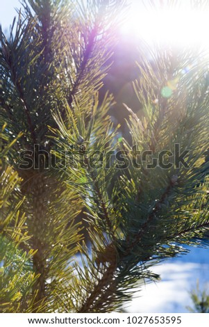 top of a young pine tree with long green needles on a background of blue sky and glowing on the side of the sun, photo close-up in the winter season #1027653595