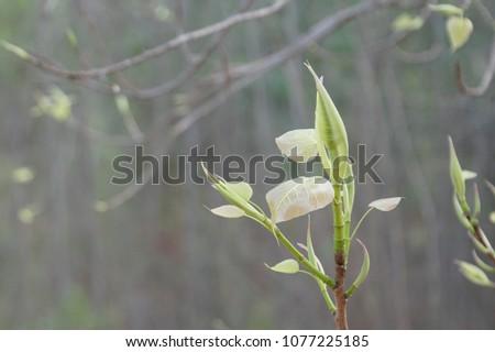 Top of Bodhi Tree or Ficus religiosa #1077225185