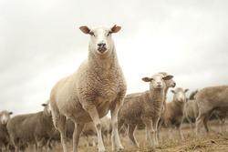 Top sheep in the herd