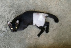 Top view, a black cat after sterilization and treatment from broken leg with stitches. The belly is shaved.