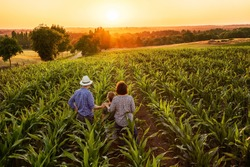 Top view. A farmer, his wife and his son in their cornfield at sunset. They are watching their crops.