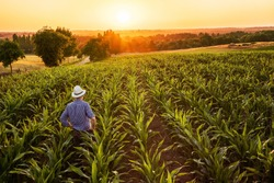 Top view. A farmer standing in his cornfield at sunset watching his crop