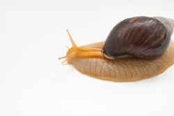 top view. A large land snail on a white background. unusual pets. unconventional cosmetology and medicine.