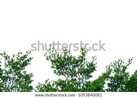 Top view a tropical tree leaves with branches on white isolated background for green foliage backdrop  #1093840082